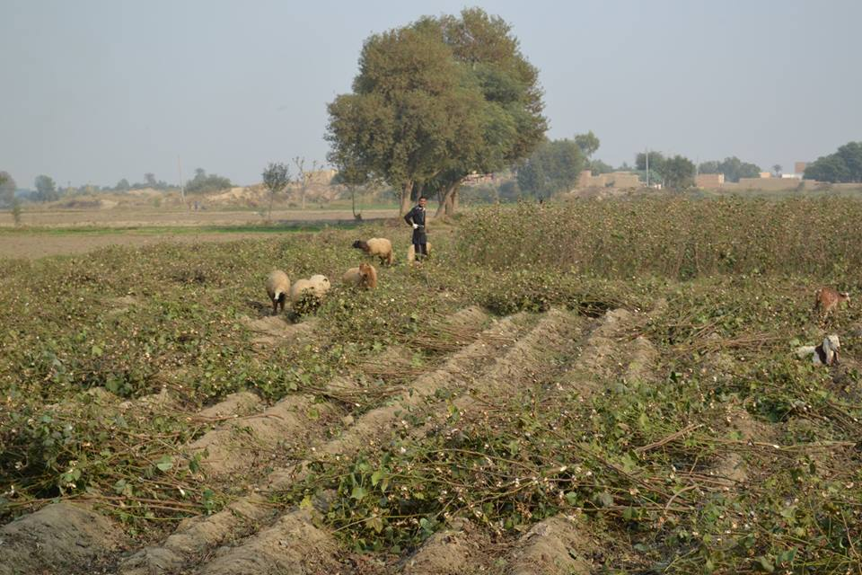 Cotton in Pakistan